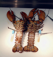 Long Island Sound lobsters
